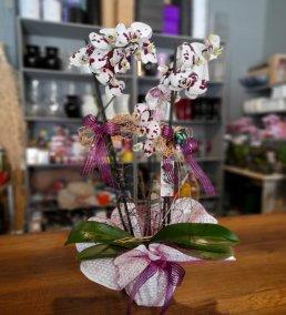 1 Saatte Teslim Orkide - 12