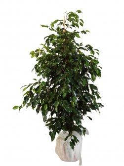 Büyük Boy Ficus Benjamin