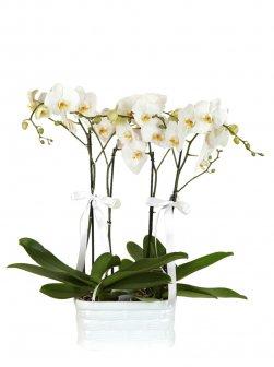 Jumbo Orkide