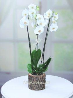 Kütük Orkide 3'lü