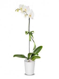 Tek Dallı Orkide